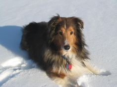 Meet Sochi, a Petfinder adoptable Shetland Sheepdog Sheltie Dog | Ravenna, OH | Sochi is an approximately 4 year old blind Sheltie who was diagnosed with a brain tumor when he...