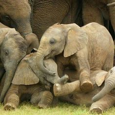 It's melts me; this photo made my day. . From : @iloveelephant262 - . . For info about promoting your elephant  art or crafts send me a direct message @elephant.gifts or email elephantgifts@outlook.com  . Follow @elephant.gifts for beautiful and inspiring elephant  images and videos every day! . #elephant #elephants #elephantlove