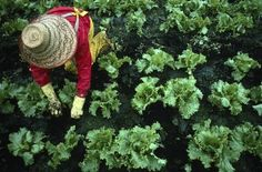 How to cut lettuce for cut and come again.  Leaf lettuce grows well in home gardens, particularly in climates with cool weather. Cool coastal areas can often grow lettuce most of the year. Spring and fall planting is best for warmer inland ...