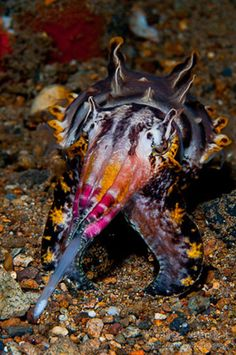 *CUTTLEFISH ~ (Metasepia pfefferi) patrols the substrate using two forward arms Underwater Creatures, Underwater Life, Ocean Creatures, Beautiful Sea Creatures, Animals Beautiful, Beneath The Sea, Under The Sea, Sea Slug, Water Animals