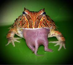 Fantasy pacman frog - photo#9