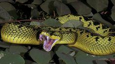 Ouatever viper
