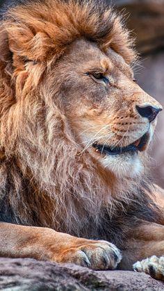 Schöner alter Löwe