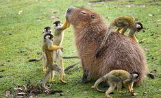 Capybara with Squirrel monkeys http://ibeebz.com