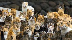 Au sud du Japon, sur l'île d'Aoshima, les chats sont six fois plus nombreux que les humains. Plus de 120 félins résident sur l'île en compagnie d'une petite vingtaine de Japonais .... Photo de classe !