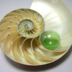 Beach Decor Nautilus Shell - Nautilus Half  for Nautical Decor - Polished…