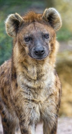 Spotted hyena Cute, Cuddly, and Cannibalistic