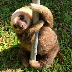 This cute little pole dancing sloth is trying to put on a little show! Slip him a dollar will you?