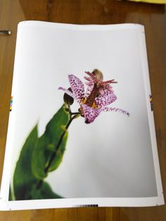 Hairy tode lily prints @thehouseofrepro Plastic Cutting Board, Lily, News, Prints, Lilies