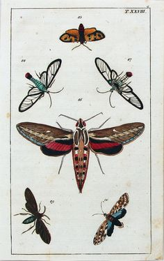 ANTIQUE PRINT Albertus Seba: Cabinet of Natural Curiosities: Insects - Moths Plate T.XXVIII via Grandpa's Market. Click on the image to see more!