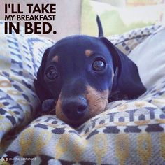 Dachshund – Friendly and Curious Dachshund Quotes, Funny Dachshund, Dachshund Puppies, Dachshund Love, Dog Quotes, Cute Puppies, Weiner Dogs, Daschund, Dachshunds