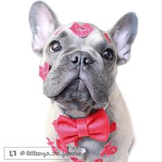 This is just ridiculously adorable. #lovebug #thriftypup #bowtie #dogbowtie #dogsinbowties  #bowtiesarecool #bowtiesforpets #dogaccessories #dogfashion #upcycled #handmade #fancydogs #dapperdog #stylishdog #dog #dogstagram #dogsofinstagram #doglovers #puppy #puppylove #puppiesofinstagram  #thriftypupambassador #frenchbulldog #frenchbulldogs #frenchie #frenchies #frenchiesofinstagram #frenchbulldogsofinstagram #frenchielove by thriftypup