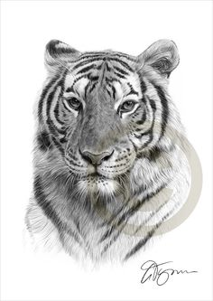African Bengal Tiger pencil drawing print  A4 by GaryTymonArtwork