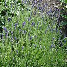 Munstead Lavender, Munstead Dwarf Lavender