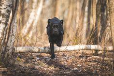 Under utdanning til å bli førerhund. — Hundefotograf Pål Hodne - Hundefotografering i Østfold Panther, Action, Animals, Group Action, Animales, Animaux, Panthers, Animal, Animais