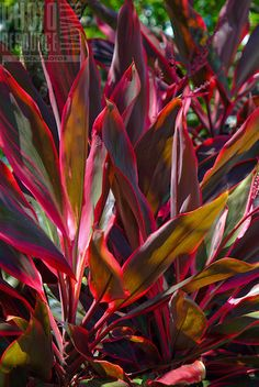 Red Ti leaf plant, used by the Hawaiians for  protection and other uses :: red for the side yard.