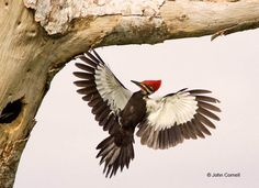 Amazing to see one up close!  Woodpecker;Dryocopus-pileatus;Pileated-Woodpecker;Flying-bird;action;aloft;behav