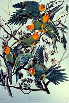 JOHN JAMES AUDUBON  Carolina Parrot