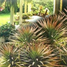 Soft-leaved yucca, rich green leaves deepening to burgundy as they mature. Low maintenance for tubs and poolside, very striking as accent plants or mass planting. Always popular. Leafy Plants, Foliage Plants, Small Purple Flowers, Helichrysum Italicum, Architectural Plants, Australian Plants, Garden Shrubs, Plants Online, Hardy Plants