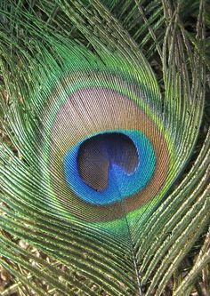 Peacock Feather Photograph  - Peacock Feather Fine Art Print