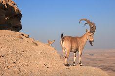 Ibex in Israeli desert near Ramon Crater.