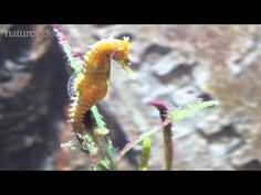 How the seahorse got its shape -- by Nature Video