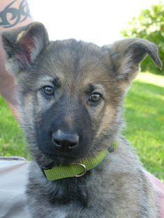 Sable German Shepherd ... love him