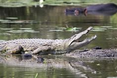 Top wildlife sanctuary Bhitarkanika National Park is a most beautiful place. Sanctuary is the second biggest mangrove ecosystem in India. Looking for customized wildlife tour packages? Call us at Crocodile Facts, Nile Crocodile, Bravery Awards, Fish Pool, Crocodiles, Alligators, Animal Attack, Early Humans, African Safari