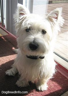westies...really want one some day! Soon!!!