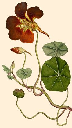 Tropaelum (Nasturtium or Indian cress) Wall Art Prints by Anonymous