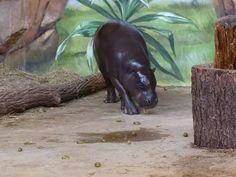 Aquarellkurse und Malevents für Familien im Rostocker Zoo | Malevent im Rostocker Zoo bei den Zwergflusspferde (c) Frank Koebsch (1)