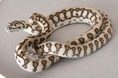 Jaguar Carpet Python