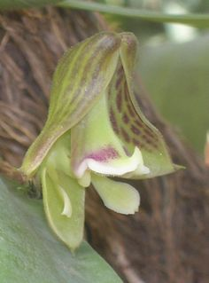 West African Orchid