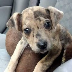 Tallulah is an adoptable Catahoula Leopard Dog, Labrador Retriever Dog in Memphis, TN HI I'm Tallulah. I'm an 8 week old Catahoula Mix. I have a playful demeanor and love playing wi ... ...Read more about me on @petfinder.com