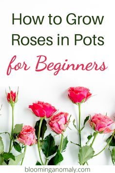 Rose Plant Care, Rose Care, Cheap Landscaping Ideas, Front Yard Landscaping, Mother's Day Bouquet, Types Of Roses, Starting A Garden, Growing Roses, Planting Roses