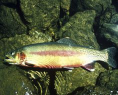 CaliforniaFacts: California State Fish: Golden Trout Dave and I caught many in the Sierra's while vacationing and I learned to fish there on Rock Creek Lake. What a wonderful memory.