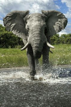Best Elephant Photos You Never Seen Before - Animals Comparison Elephants Photos, Elephant Pictures, Save The Elephants, Animal Pictures, Pictures Of Wild Animals, Baby Elephants, Elephant Love, Elephant Art, African Elephant