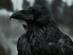 Wotan's Raven | The North Realm