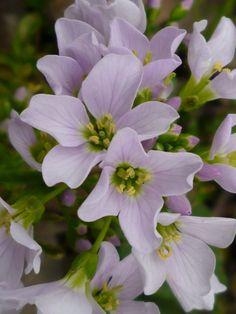 Lady's Smock (Milk-maids or Cuckoo-flower)