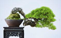 Long Live the Bonsai King Pine Bonsai, Bonsai Wire, Indoor Bonsai Tree, Bonsai Trees, Amazing Greens, Tiny World, Bonsai Garden, Metal Tree, Tree Designs