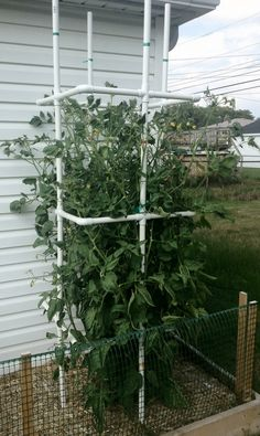 How To Make A Cheap DIY Tomato Plant Cage Out Of PVC Pipe  How to make a cheap do it yourself tomato plant-cage out of pvc pipe.
