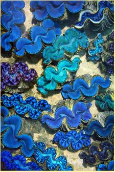 See clams like these in Tahiti! However, I never saw them so close together. Tahiti, Bora Bora, Fauna Marina, Underwater Life, Underwater Creatures, Tier Fotos, Sea World, Deep Sea, Deep Blue