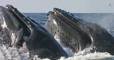 Mysterious Humpback Whale Song Discovered