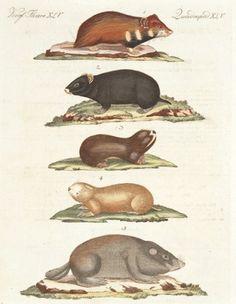 BERTUCH, Friedrich Justin. Hamsters and Field Rats. (Quadruped. XLV)