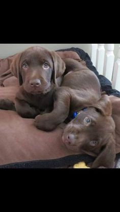 8 week old chocolate pups