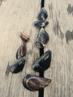Grown blue mussels on the docks