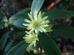 Illicium simonsii very poisonous