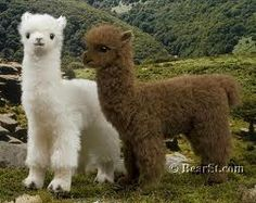 Baby Alpacas! are these real? these look ridiculously adorable!!!