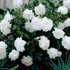 Peittoruusu White Fairy - Viherpeukalot