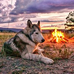Wild nights chasing jackrabbits and eating camp food. by loki_the_wolfdog http://coloradohiking.org/2015/10/meet-loki-the-wolfdog-breakin-hearts-since-2012/